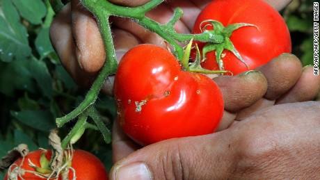 tmp_17155-160525120104-tomato-tuta-absoluta-large-169-80628329