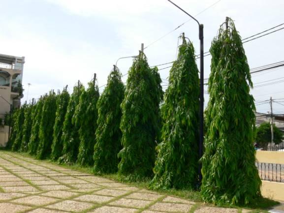 Polyalthia Longifolia - Temple Pillar 13