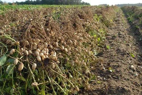 20091103-peanutfarming3